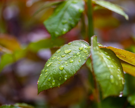 Raindrops on the leaves of a rose, green red leaf.