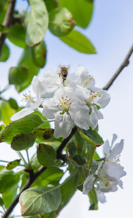 White flowers of an apple tree with green leaves against a blurred sky. 写真素材