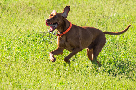 Hunting dog runs in search of prey, green grass, spring landscape. Stock Photo