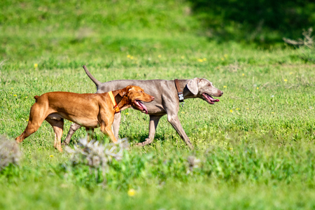 Dog hunting, nature green field summer. Stock Photo