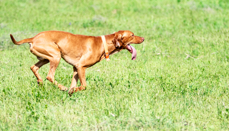 The hunting red dog runs on a green grass. Summer green meadow. 写真素材