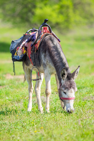 Donkey with a saddle grazing on green grass, summer day.