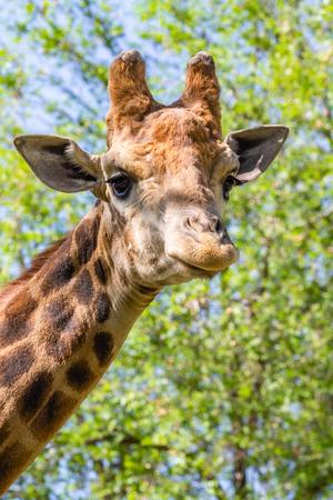 Giraffe head portrait, sky green trees. Stok Fotoğraf