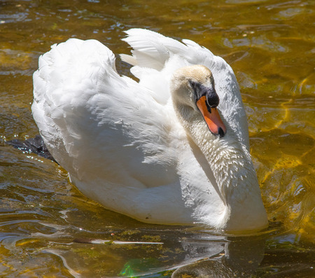 White swan swims in the water, summer pond.