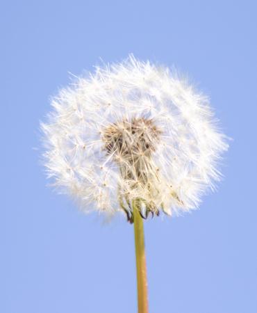 Biały puszysty kwiat mniszka lekarskiego na niewyraźne tło. Zdjęcie Seryjne