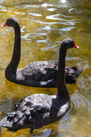 Black swan swims in the water, summer pond.