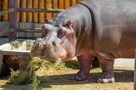 Portrait of a hippopotamus eating grass