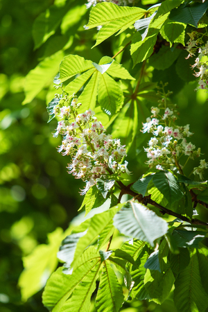 Flowers of white chestnuts with green foliage. Imagens