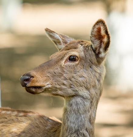 Le cerf de Virginie (Odocoileus virginianus) femelle, en été nature, portrait.