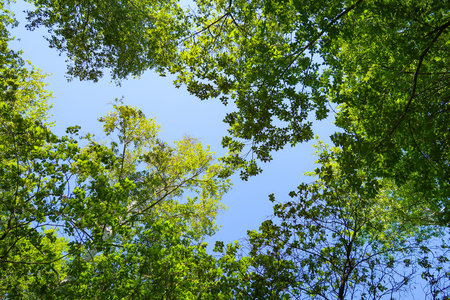 Green leaves of trees view from below against the blue sky, spring nature. Stock Photo