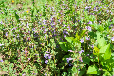 Purple flowers of fragrant mint in the green grass.
