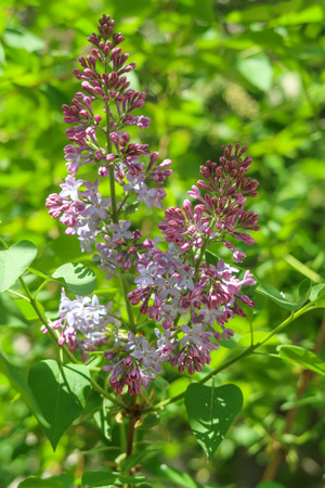 Tree lilac, flowers purple in green leaves, spring landscape.