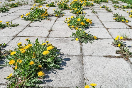 Stone blocks flowers dandelions grass, the background of the old street.