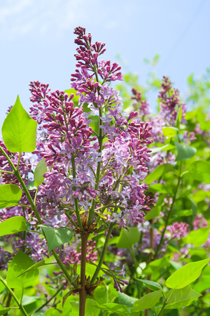 Flowers purple lilac, nature garden. Stockfoto
