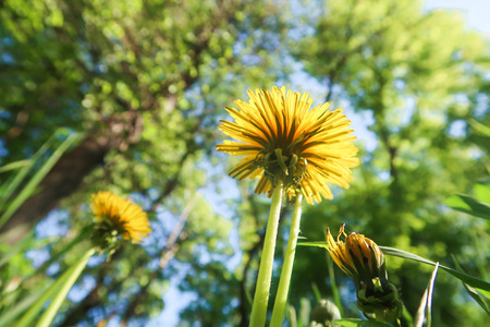 Yellow dandelion flowers in green grass in a sky park Imagens - 124722872