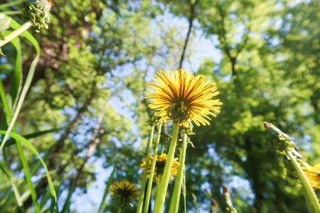 Yellow dandelion flowers in green grass in a sky park