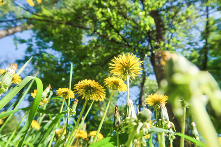 Yellow dandelion flowers in green grass in a sky park Imagens - 124724270