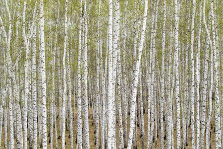 White birch trees forest background, spring.