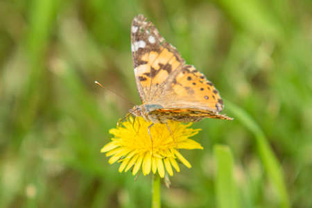 A burdock butterfly from the family Nymphalidae, sits on a flower of a yellow dandelion in woolen grass. Stock Photo