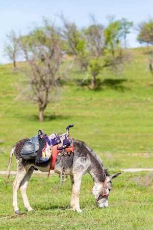 Donkey with a saddle grazing on green grass, summer day. Stock Photo