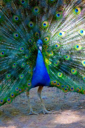 Peacock bird spread its beautiful tail. Nature bird peacock.