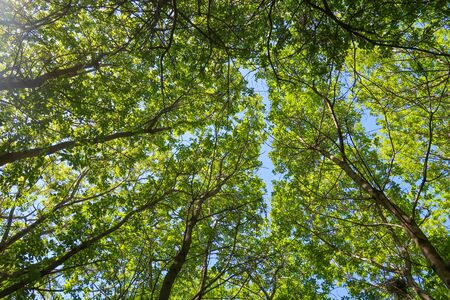 Green leaves of trees view from below against the blue sky, spring nature. Stockfoto