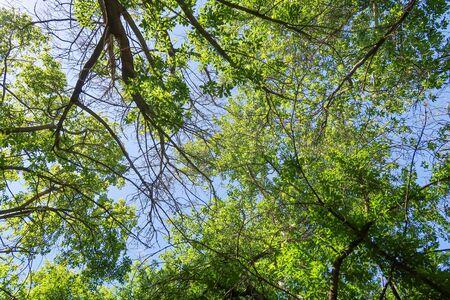 Grüne Blätter von Bäumen sehen von unten gegen den blauen Himmel, Frühlingsnatur.