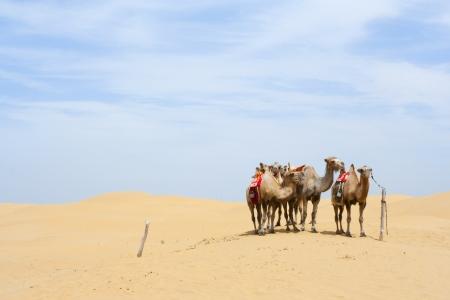 Camels standing on desert