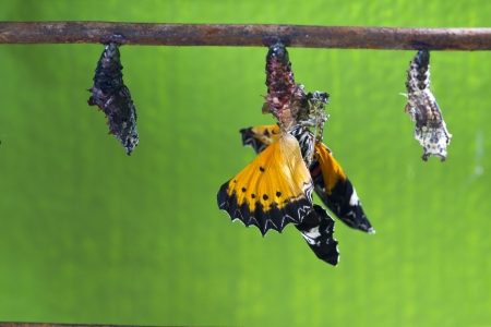 pupae: Butterfly Emerging from a Chrysalis