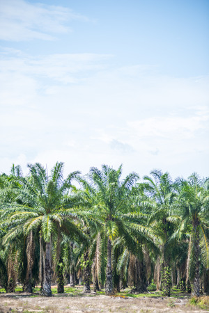 Oil palm tree in the field