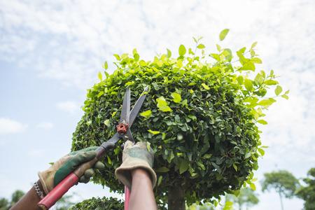 Handen met tuinscharen die een haag in de tuin snijden