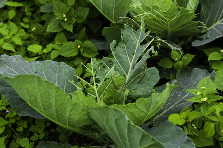 damaged: Damaged cabbage,