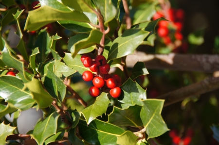 hojas: rama de acebo  Branch of holly