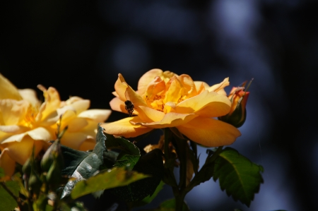 possesses: Yellow rose with bee  Rose garden of the Buen Retiro, Madrid, Spain, designed in 1915 by the Chief Gardener Cecilio Rodr�guez, it possesses a great variety of roses  See more at www madrid es