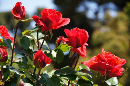 Rose garden of the Buen Retiro, Madrid, Spain, designed in 1915 by the Chief Gardener Cecilio Rodr�guez, it possesses a great variety of roses  See more at www madrid es Stock Photo