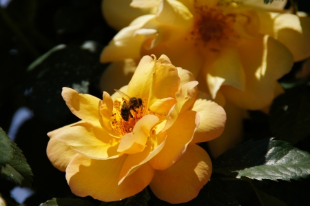 possesses: Yellow rose with bee in flight  Rose garden of the Buen Retiro, Madrid, Spain, designed in 1915 by the Chief Gardener Cecilio Rodr�guez, it possesses a great variety of roses  See more at www madrid es