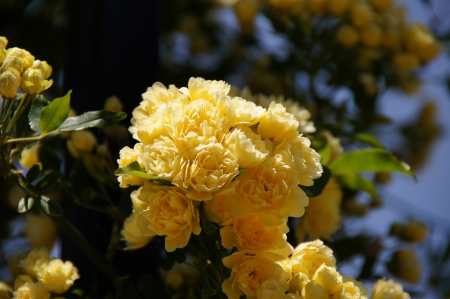 possesses: Small yellow roses  Rose garden of the Buen Retiro, Madrid, Spain, designed in 1915 by the Chief Gardener Cecilio Rodr�guez, it possesses a great variety of roses  See more at www madrid es