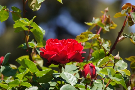 possesses: Rose garden of the Buen Retiro, Madrid, Spain, designed in 1915 by the Chief Gardener Cecilio Rodr�guez, it possesses a great variety of roses  See more at www madrid es Stock Photo
