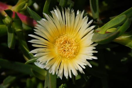 canarian: Wild Flower typical canarian, botanical garden of El Paso,  La Palma, Canary Islands, Spain Stock Photo