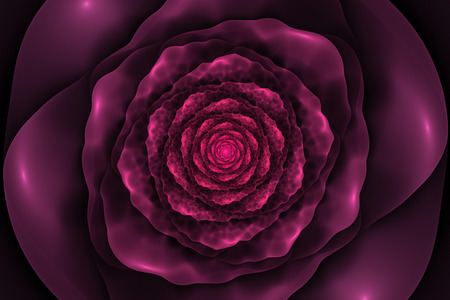 Black background with crumpled pink rose in the center. Spiral flower texture, fractal pattern. Marsala flower on dark purple backdrop. Stock Photo
