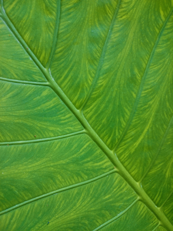 Green leaf natural background. Fresh summer or spring pattern. Diagonal greenery texture. Ecological healthy wallpaper.