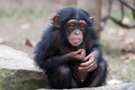 chimpances: Mono de reproducción