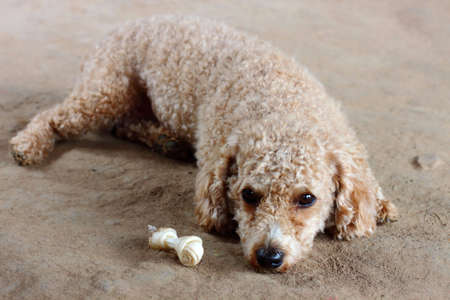 Brown toy poodle photo
