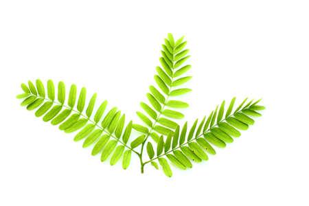 tamarindo: Hoja de tamarindo aislado en blanco