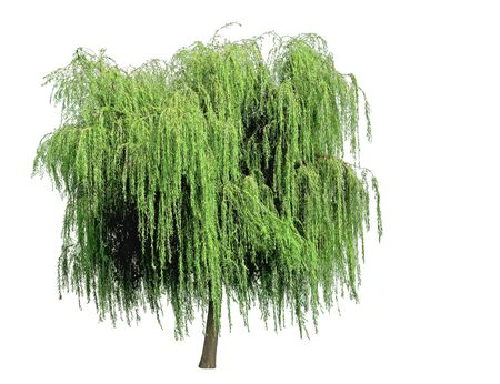 Young green weeping willow. White background.