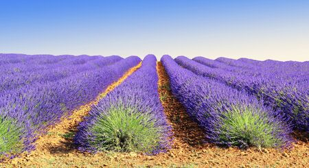 Floral lavender plants lined up to the horizon in rows in a field.