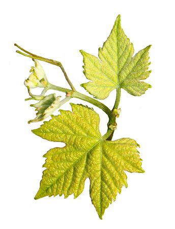 Young leaves of vines in spring