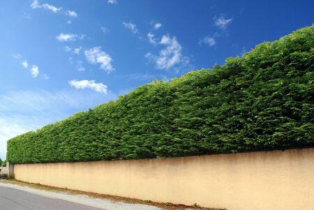 Cut thuya hay overmounting a fence wall.