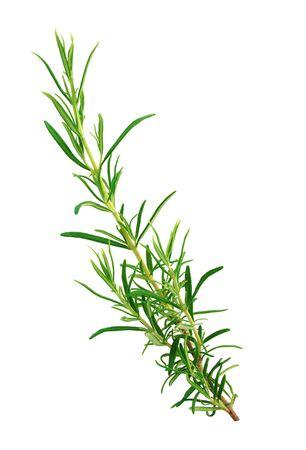 Sprig of rosemary isolated on white background