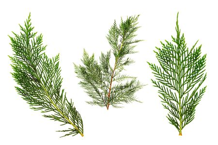 Green thuja sprigs, isolated on white background. Banque d'images